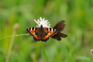 butterflies_sharing_flower-1140x757