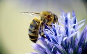 european-honeybee-948800_1920
